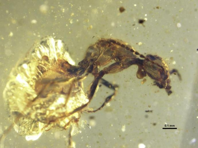 Lateral photomicrograph of Zigrasimecia tonsora entombed in 99 million-year-old amber. Credit —P. Barden & D.A. Grimaldi