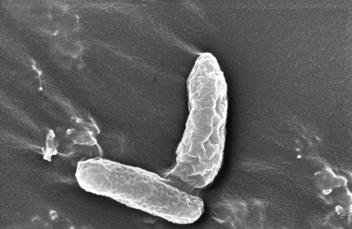 Image of DD4 cells. (Credit — NJIT, Mengyan Li)