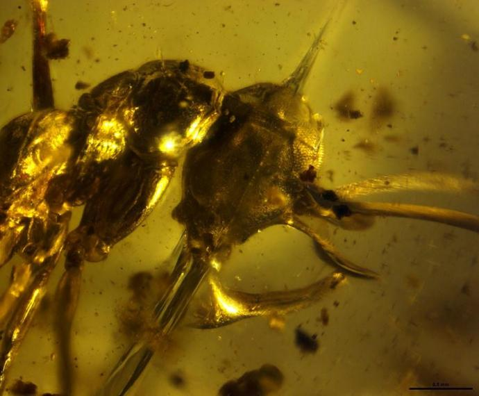 Head and thorax of Vlad the Impaler (Linguamyrmex vladi) in prehistoric amber. Credit — P. Barden, H.W. Herhold, D.A. Grimaldi