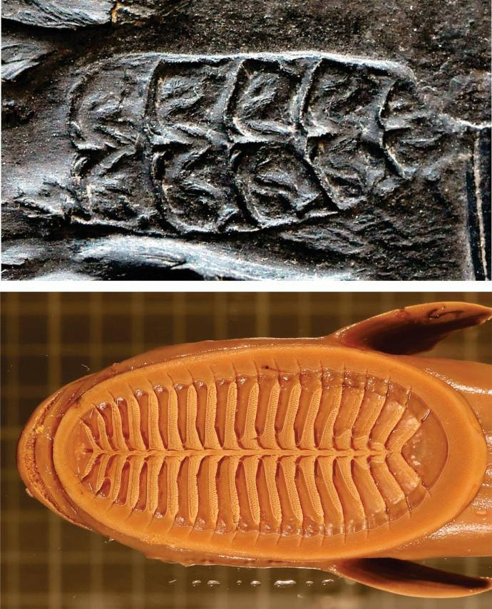 Evolution of lamellae: Image of Opisthomyzon glaronensis fossil featuring six lamellae (top) and dorsal view of a modern remora disc with more rows of lamellae (bottom).